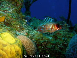 Longspine Squirrel Fish in Hiding or so he thinks by Steven Daniel 